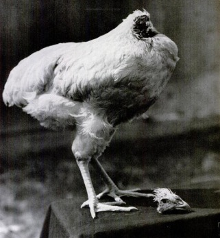 mike-the-headless-chicken1